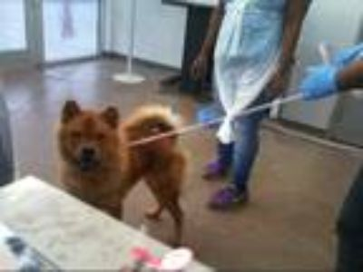 Adopt FRIDA a Red/Golden/Orange/Chestnut Chow Chow / Mixed dog in Dallas