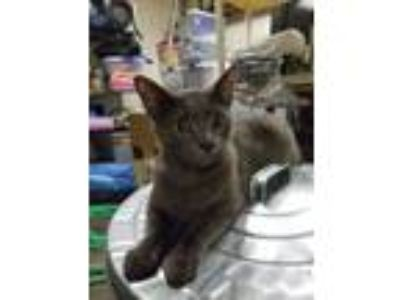 Adopt Tucker a Gray or Blue Domestic Shorthair / Mixed cat in Bahama
