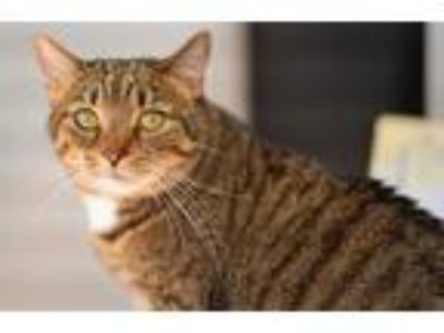 Adopt Ginny a Gray, Blue or Silver Tabby Domestic Shorthair (short coat) cat in