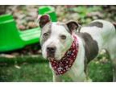 Adopt Oyster a Gray/Blue/Silver/Salt & Pepper American Pit Bull Terrier / Mixed