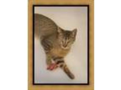 Adopt Aldo a Brown Tabby Domestic Shorthair (short coat) cat in Mt.