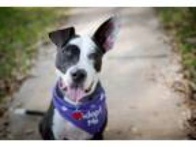 Adopt Sugar a Border Collie, Pit Bull Terrier