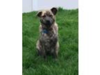 Adopt Chasta a Brindle Australian Shepherd / Mountain Cur / Mixed dog in