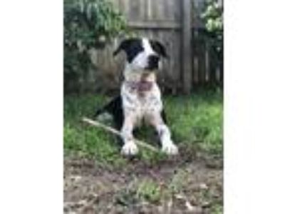 Adopt Hank a Black - with White Pointer / Mixed dog in New Braunfels