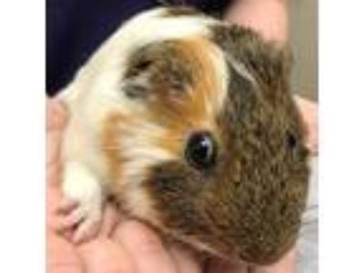 Adopt Louis V a Short-Haired, Guinea Pig