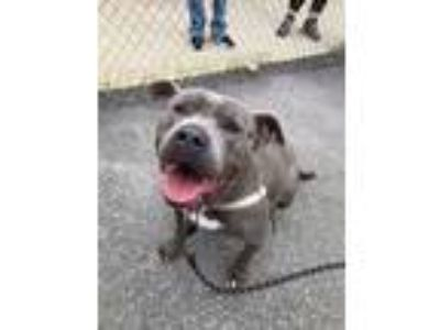 Adopt Blue - Take My Lead dog a Pit Bull Terrier