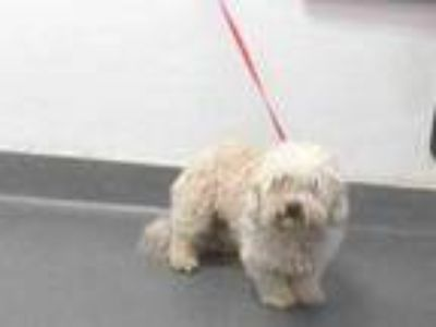 Adopt 19-23800 a Poodle