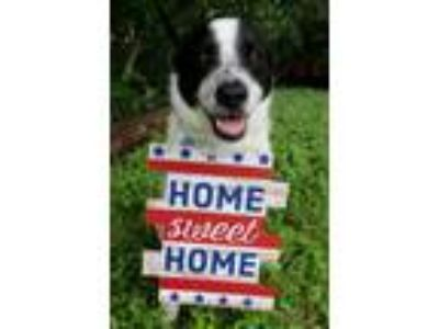 Adopt Hunter KF a White - with Black Border Collie / Brittany / Mixed dog in