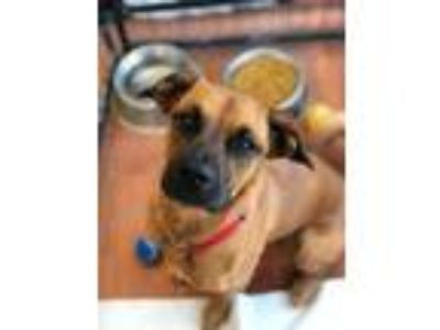 Adopt Darci-sponsored a Boxer, Shepherd