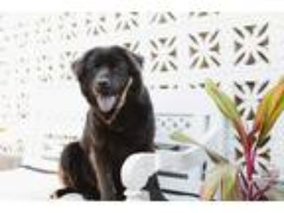 Adopt Eclipse a Black Labrador Retriever / Chow Chow / Mixed dog in Inglewood