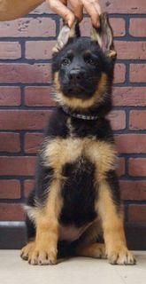 German Shepherd Dog PUPPY FOR SALE ADN-96361 - Amazing AKC German  Shepherd Puppies