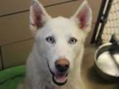 Adopt JUNIPER a White Husky / Mixed dog in Fort Wayne, IN (25878336)