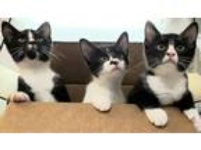 Adopt Pugsley, Wednesday, and Gomez a Domestic Short Hair