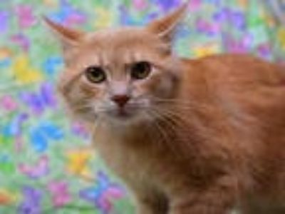 Adopt TANGO a Orange or Red Tabby Domestic Shorthair / Mixed (short coat) cat in