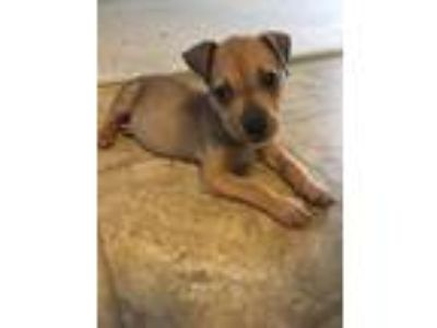 Adopt Scout a Labrador Retriever / Pit Bull Terrier / Mixed dog in Laingsburg