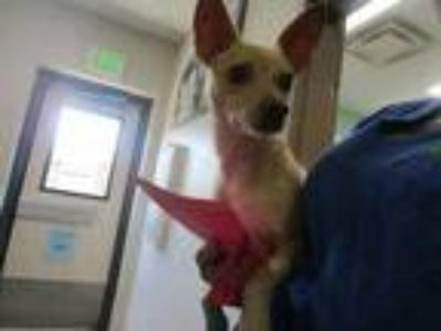 Adopt Braxton a Tan/Yellow/Fawn Terrier (Unknown Type, Small) / Mixed dog in