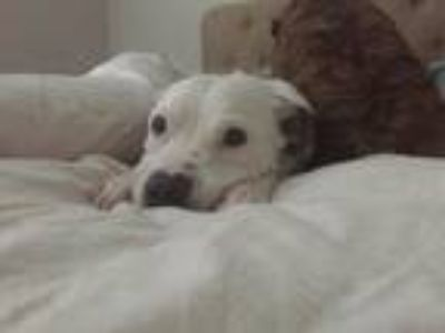 Adopt Lucy Loo a Pit Bull Terrier, Staffordshire Bull Terrier