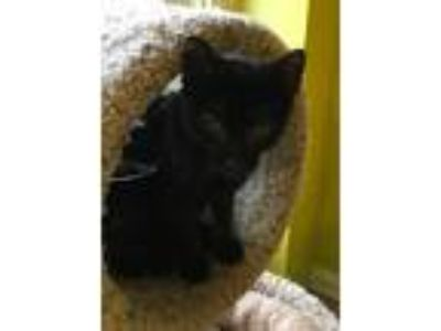 Adopt Jean a All Black Domestic Shorthair / Mixed (short coat) cat in Hudson