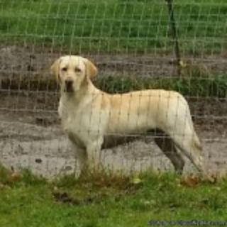 AKC Yellow Labrador Stud for hire.