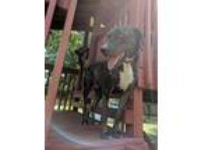 Adopt Tugg a Brindle Catahoula Leopard Dog dog in San Diego, CA (25752299)