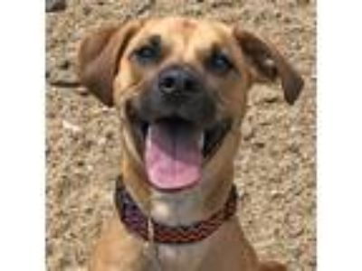 Adopt Ajax a Tan/Yellow/Fawn Mixed Breed (Medium) / Mixed dog in West Kennebunk