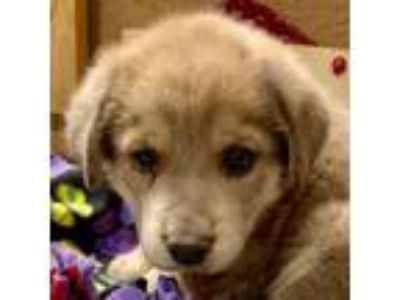 Adopt Chevy a Tan/Yellow/Fawn Great Pyrenees / Shepherd (Unknown Type) dog in