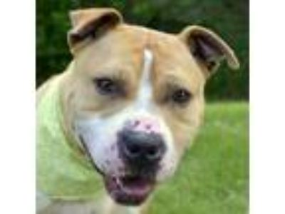 Adopt Lilo a Pit Bull Terrier