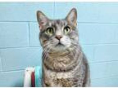 Adopt Loki a Gray or Blue Domestic Shorthair / Domestic Shorthair / Mixed cat in