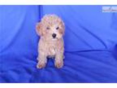 Red Poodle Male