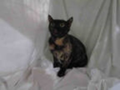 Adopt a Tortoiseshell Domestic Shorthair / Mixed (short coat) cat in Winter