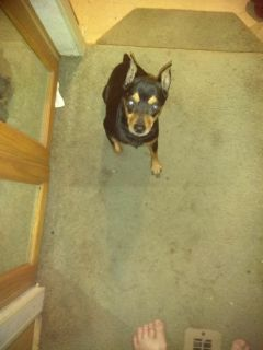 LOST:  Black and tan miniature Doberman pinscher