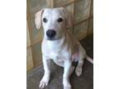 Adopt Nohea a Tan/Yellow/Fawn Labrador Retriever / Mixed dog in Lihue