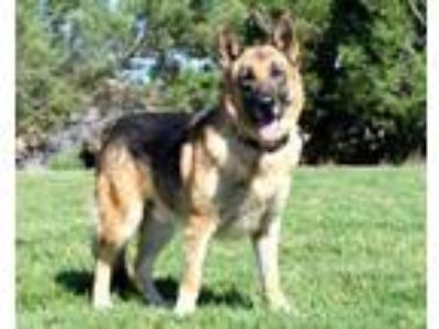 Adopt Judge a German Shepherd Dog