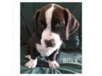 Adopt Brock a White - with Black Basset Hound / Mixed dog in Cherry Valley