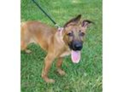 Adopt Windy a Brown/Chocolate - with Black Shepherd (Unknown Type) / Mixed dog