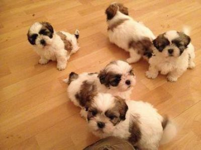 Shih Tzu puppies for rehoming