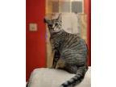 Adopt Dot a American Shorthair / Mixed (short coat) cat in Coshocton