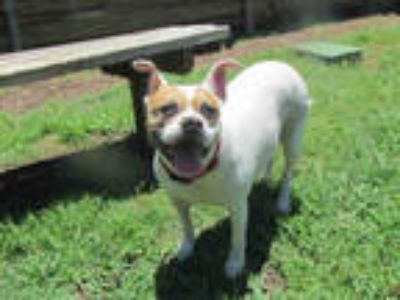 Adopt KINSEY a White - with Brown or Chocolate American Pit Bull Terrier / Mixed