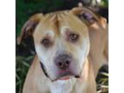 Adopt Caesar a Tan/Yellow/Fawn - with White Mastiff / American Staffordshire