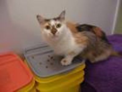 Adopt Precious (CL) a Calico or Dilute Calico Domestic Longhair / Mixed (long