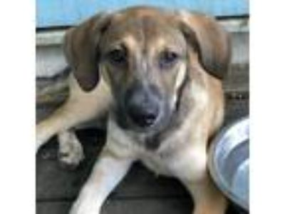 Adopt The Good a Tan/Yellow/Fawn Labrador Retriever / Shepherd (Unknown Type)