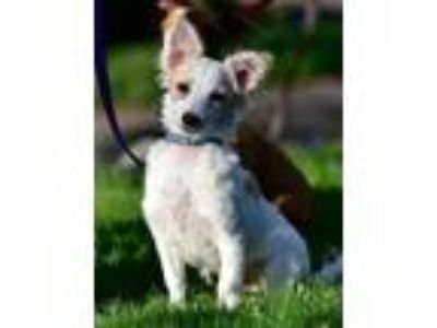 Adopt Honey a White Terrier (Unknown Type, Medium) / Mixed dog in Issaquah