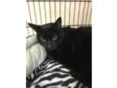 Adopt Nutella a All Black Domestic Shorthair / Mixed (short coat) cat in Hudson