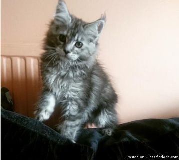 Maine Kittens For Sale