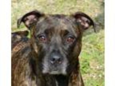 Adopt Precious a Brindle American Pit Bull Terrier / Mixed dog in Englewood