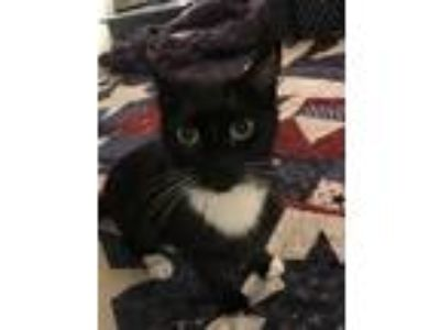Adopt Kitty a Black & White or Tuxedo American Shorthair cat in North Babylon