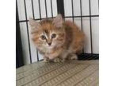 Adopt RORY a White Domestic Shorthair / Domestic Shorthair / Mixed cat in