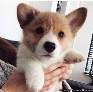 A puppy corgi for adoption