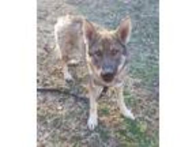 Adopt Bandit-1944 a German Shepherd Dog