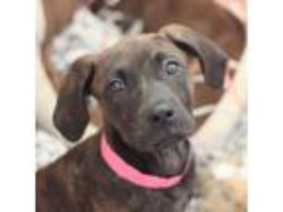 Adopt Perezda a Brindle Hound (Unknown Type) / American Pit Bull Terrier / Mixed